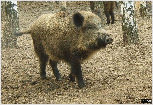 Дикий кабан: ареал обитания и особенности поведения
